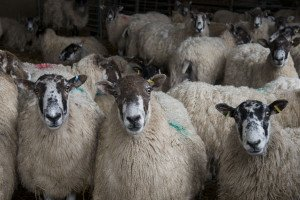 Safe use of Veterinary Medicines for commercial sheep flocks @ Evershot