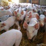 Pig EMS 003