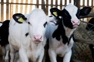 Practical Calving Course @ Synergy Farm Health | Evershot | United Kingdom