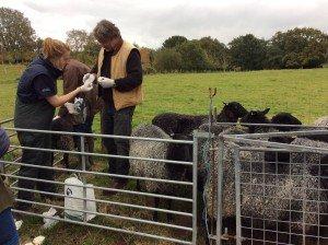 EG Farmer sheep