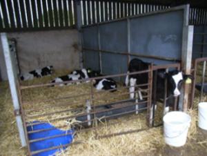 calf drinking