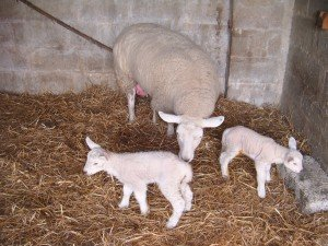 Practical Lambing Course @ Synergy Farm Health, Evershot