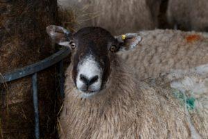 Sheep Lameness Training @ Mole Avon