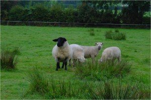 Safe Use of Veterinary Medicines for Commercial Sheep Flocks @ Synergy Farm Health, Evershot